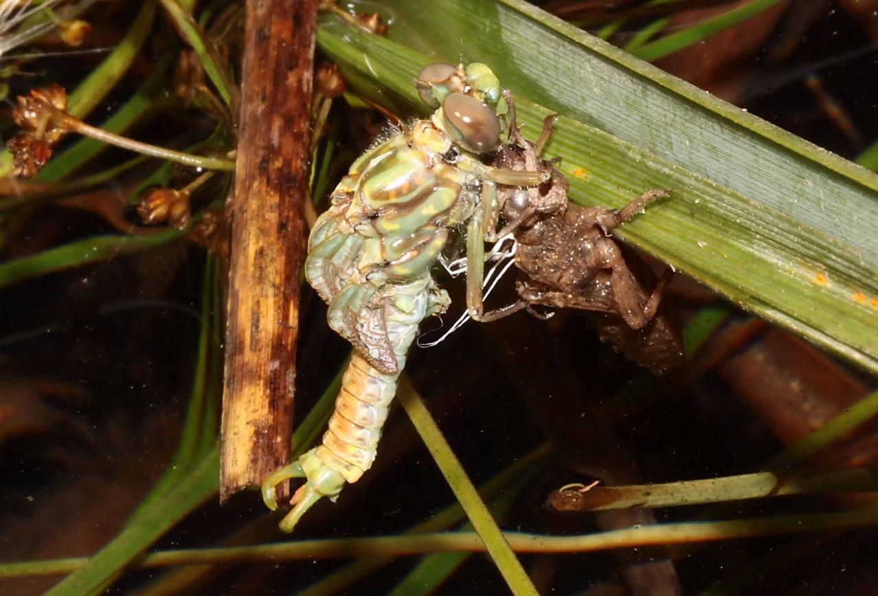 Große Zangenlibelle, Onychogomphus uncatus, Männchen beim Schlupf (3).