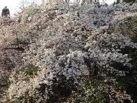 妙見町の桜