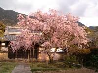 広寿山福聚禅寺のしだれ桜