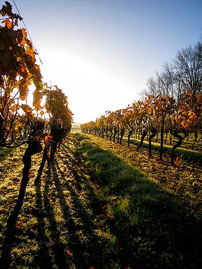 Les Vignes Vin de Pays Charentais