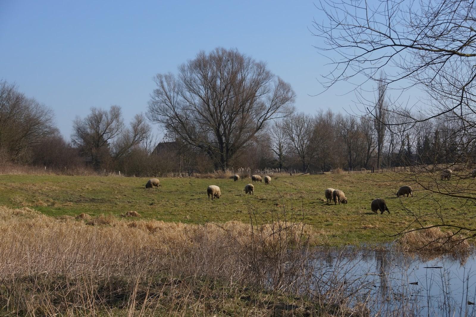 Schafe weiden in Seenähe.