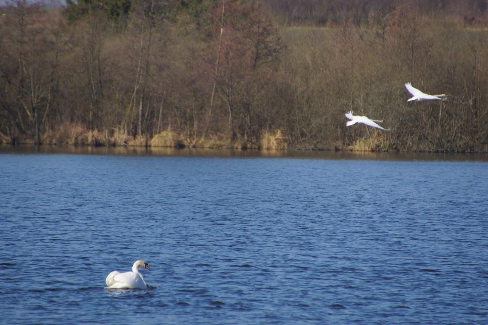 Drei Höckerschwäne am Ritzerauer See.
