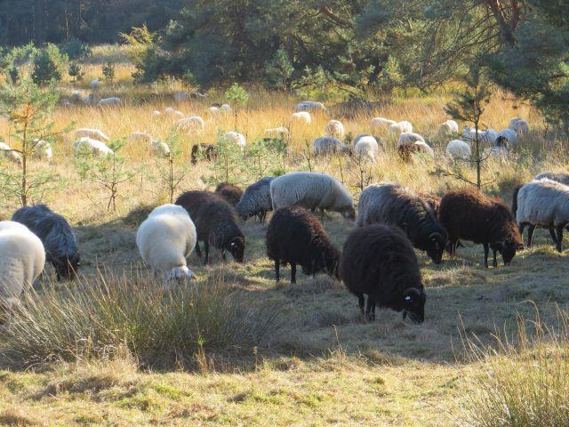 Schafherde auf der Weide. Bild: Wolfgang Weber