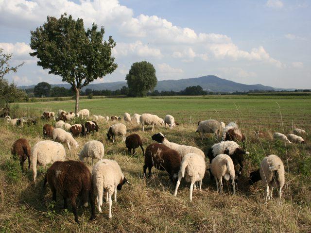 Schafe beim Grasen - Bild: NABU/H.May