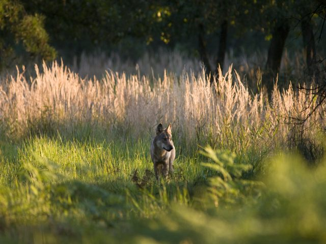 Wolf aus dem Daubitzer Rudel - Foto: NABU/Jan Noack