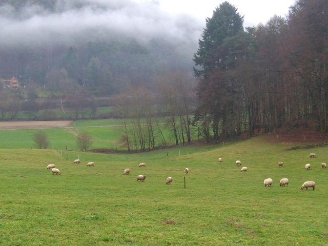 Schafe im Odenwald. Bild: Wolfgang Weber