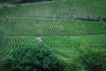 Des vignes à perte de vues...