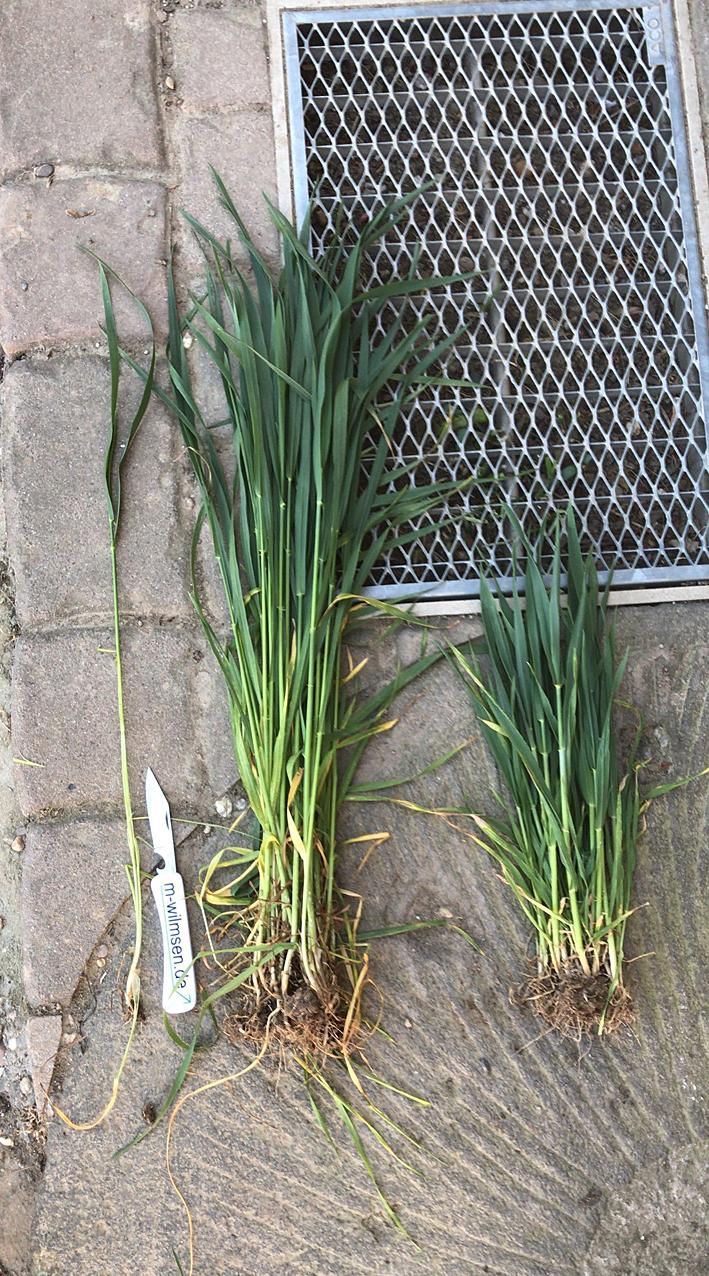 Weizen: Frühsaat (links), Spätsaat (rechts)