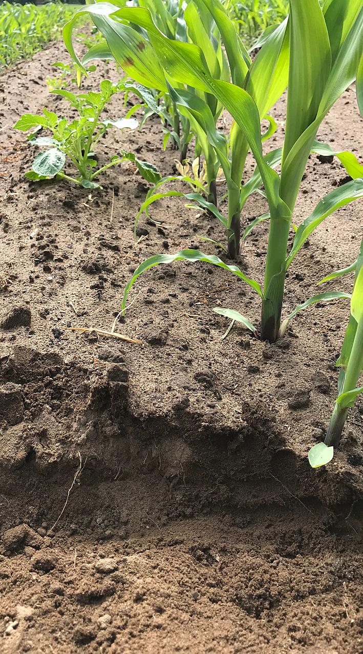 Mais Mulchsaat auf einem sandigem Boden