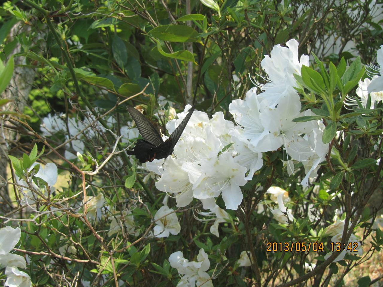 白い花に黒いアゲハ蝶が止まっています。