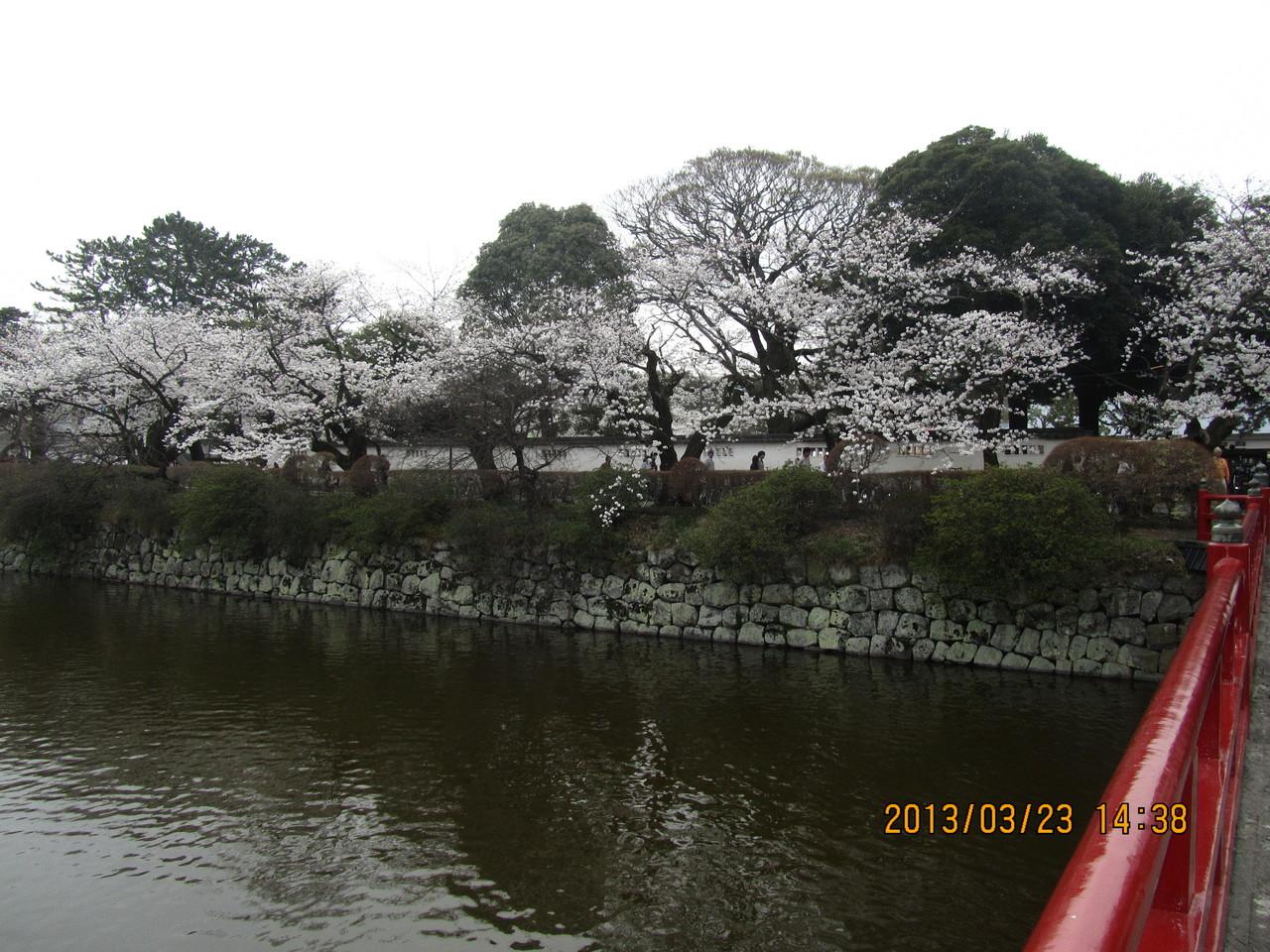 日本さくら名所100選にも選ばれている小田原城址公園の桜が満開です。