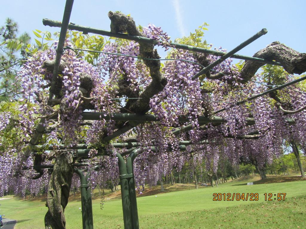 葛城ゴルフクラブ(静岡県)の藤の花が満開で美しいです。