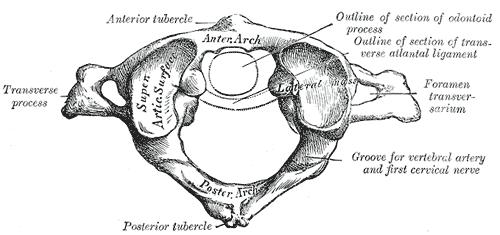 輪っかの形状から環椎とも呼ばれます。