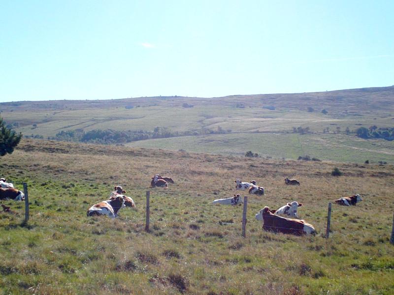 Des vaches en estive sous Pierre-sur-Haute