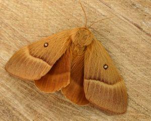 Eichenspinner (W) Lasiocampa quercus   ---   Foto: Wikipedia