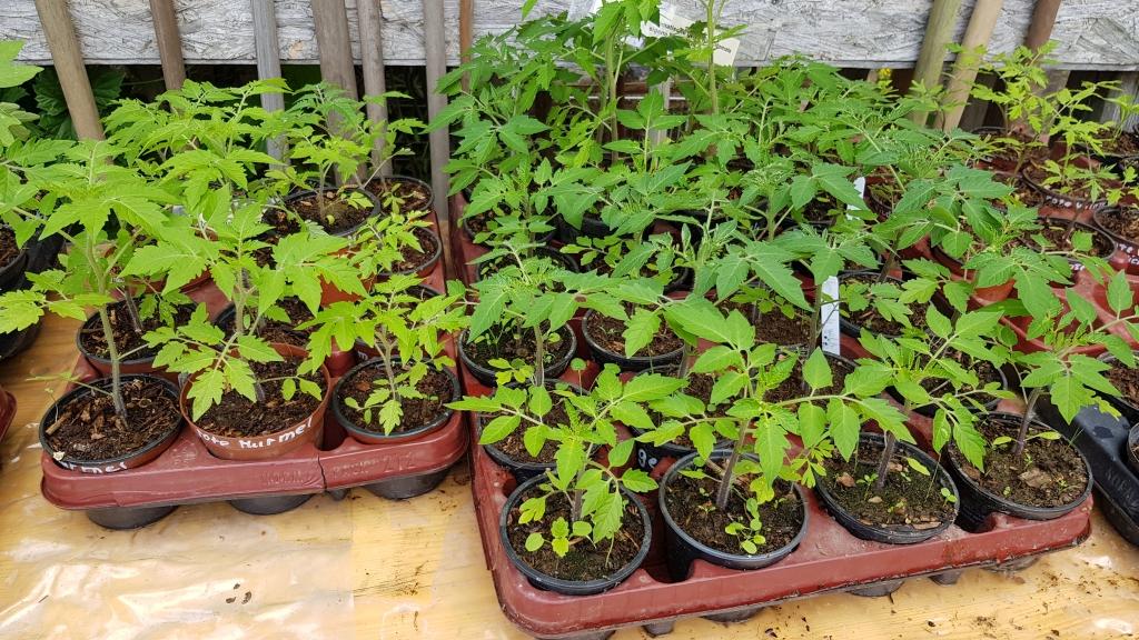 Es gab viele Tomatenpflanzen zu kaufen