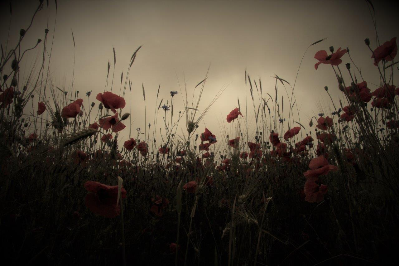 Mohnblüte Quelle: Horst Hennchen