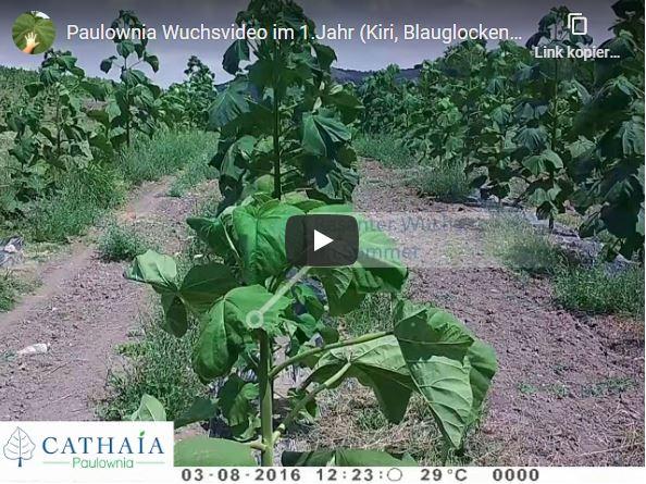 Paulownia-Wuchsvideo