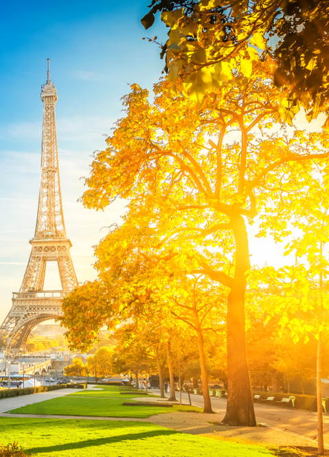 P. tomentosa in Paris