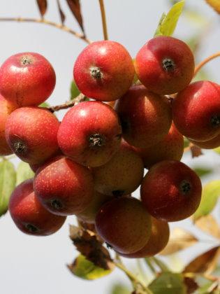 Speierling Beeren
