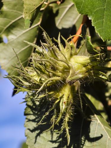 Baumhasel Frucht