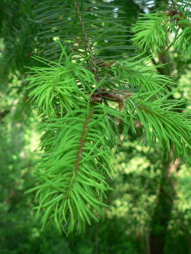 Douglasie Forstpflanze Nadeln