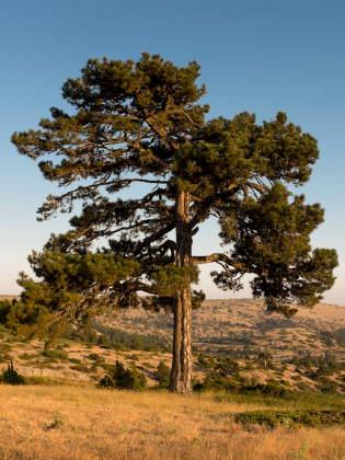 Spirke Baum