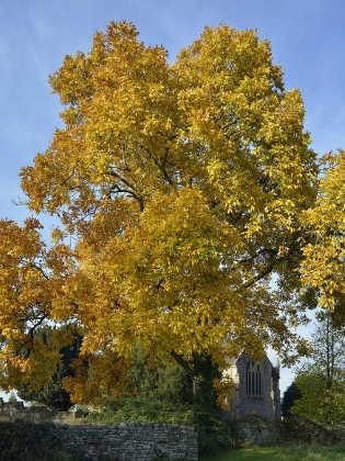Hickory Baum