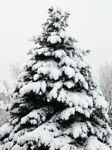 Douglasie Forstpflanze Winter