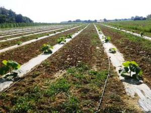 Anpflanzung - Paulownia-Plantage