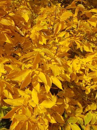 Hickory Blätter
