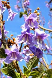Blauglockenbaum Blüte