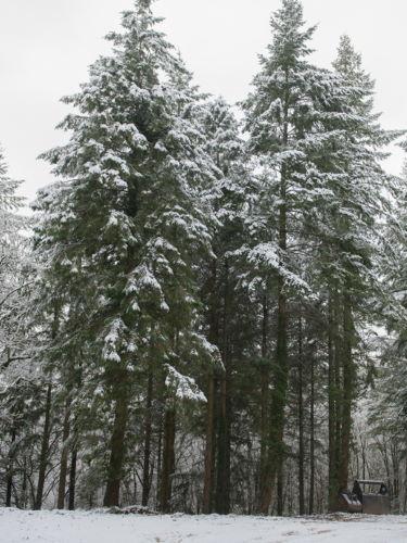 Douglasie Forstpflanzen Winter