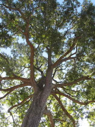 Pekannuss Baum