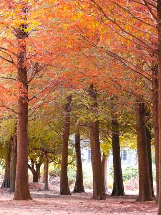 Sumpf Zypresse Herbstfärbung