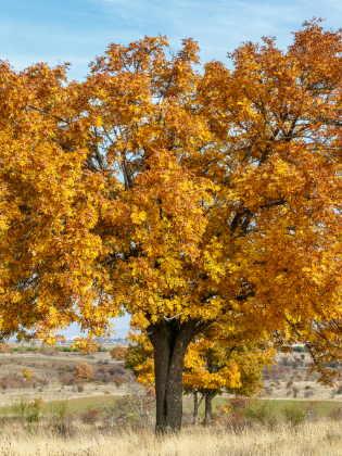 Speierling Herbstfärbung