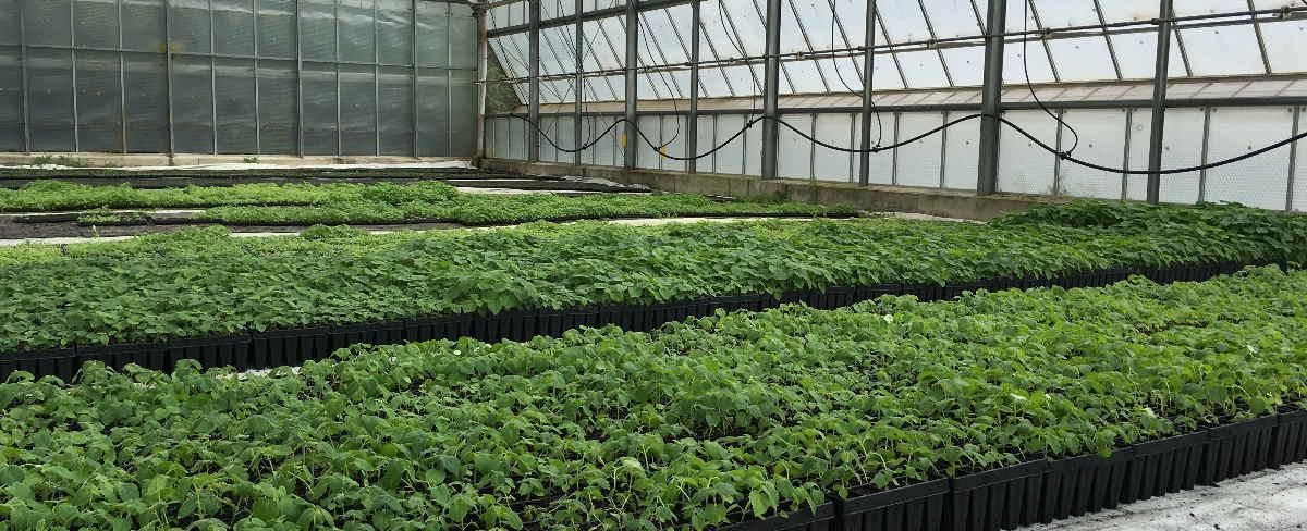 Paulownia Forstpflanzen