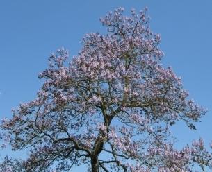 Paulownia, Kiri, blühender Blauglockenbaum