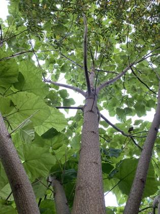 Blauglockenbaum Wuchs