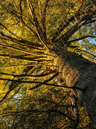 Strobe Baum
