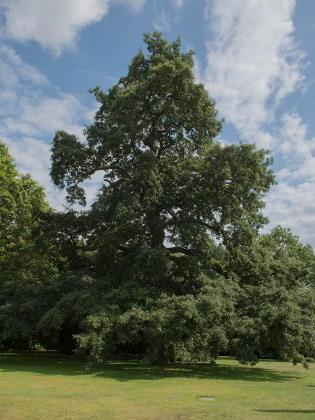 Zerreiche Baum