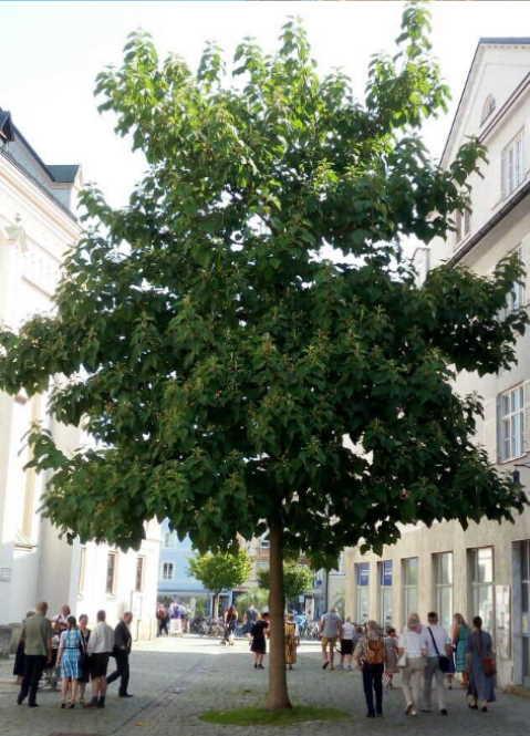 Blauglockenbaum in Rosenheim