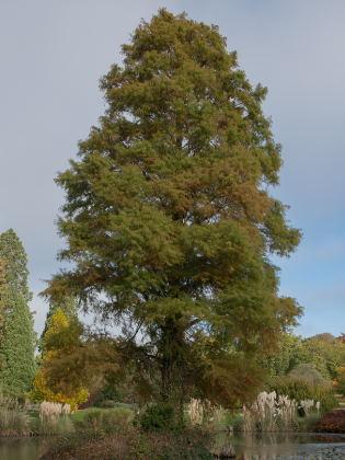Sumpf Zypresse Baum