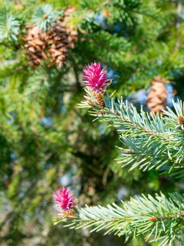 Douglasie Forstpflanze Blüte