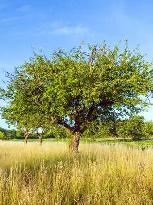 Speierling Baum