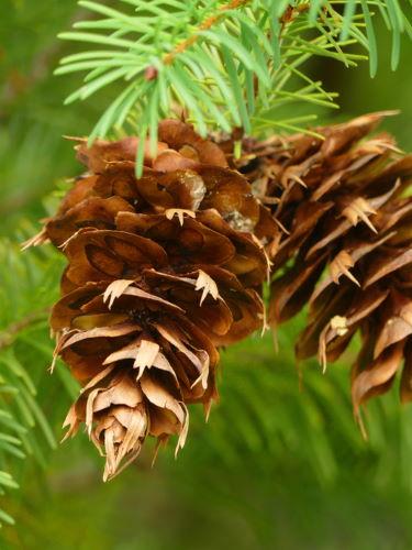 Douglasie Forstpflanze Zapfen