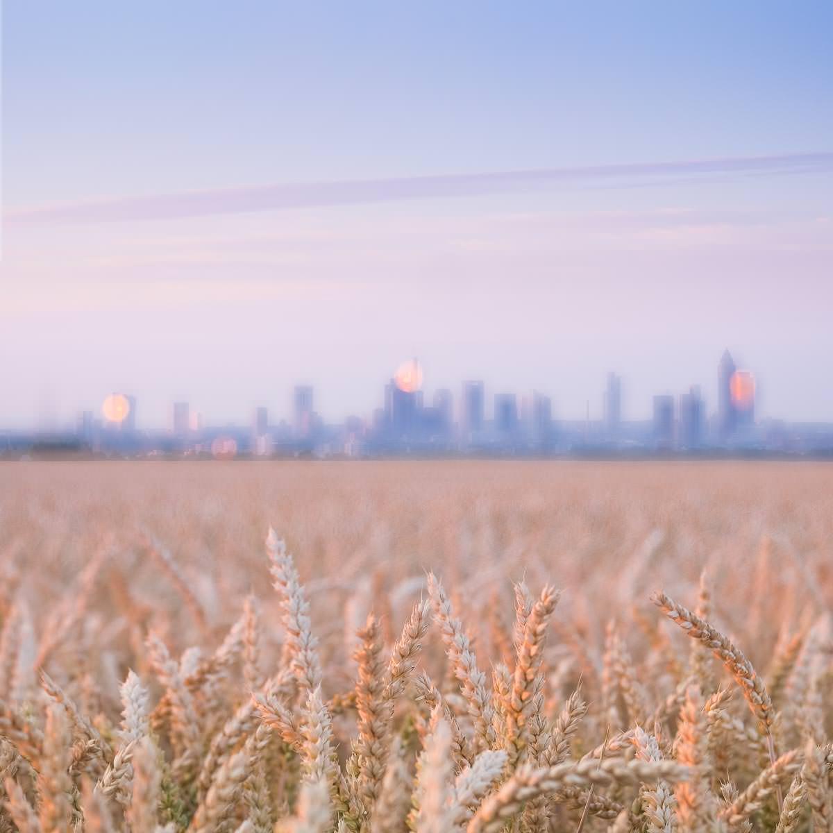 Ein Kornfeld bei Sonnenaufgang mit der Skyline von Frankfurt am Horizont