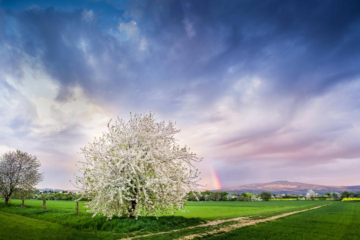 Kirschbaum in voller Blüte und Regenbogen am Altkoenig
