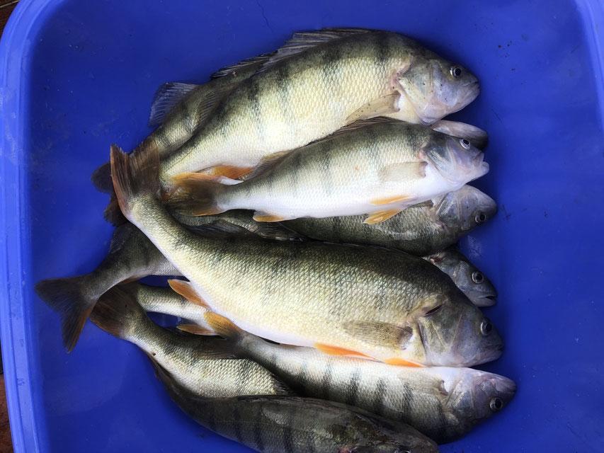 Egli, Zander und Hecht im Murtensee.  Fischen vom Boot auf Barsch, Zander und andere Raubfische im Murtensee.