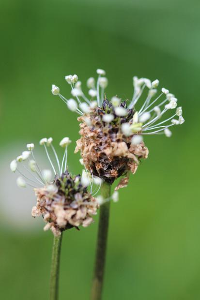 Der Spitzwegerich im Blütenkleid